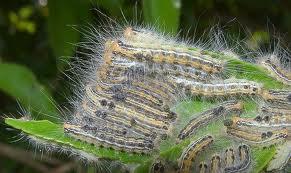 炎 うつる 皮膚 チャドクガ 毛虫に刺された時の対処法!毛虫皮膚炎はうつる?症状や跡写真、治療まとめ